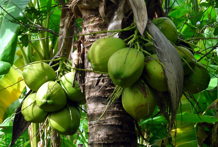 Photo of coconut fruit.