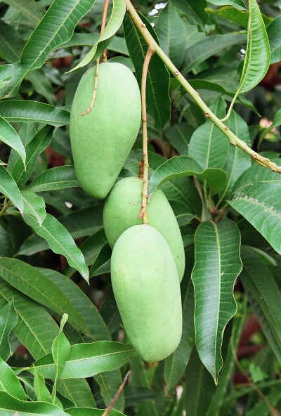 Photo of mango fruit.