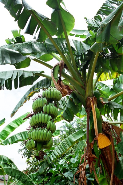 Photo of banana fruit.